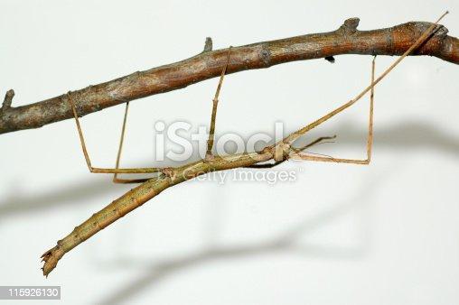 Walking stick,