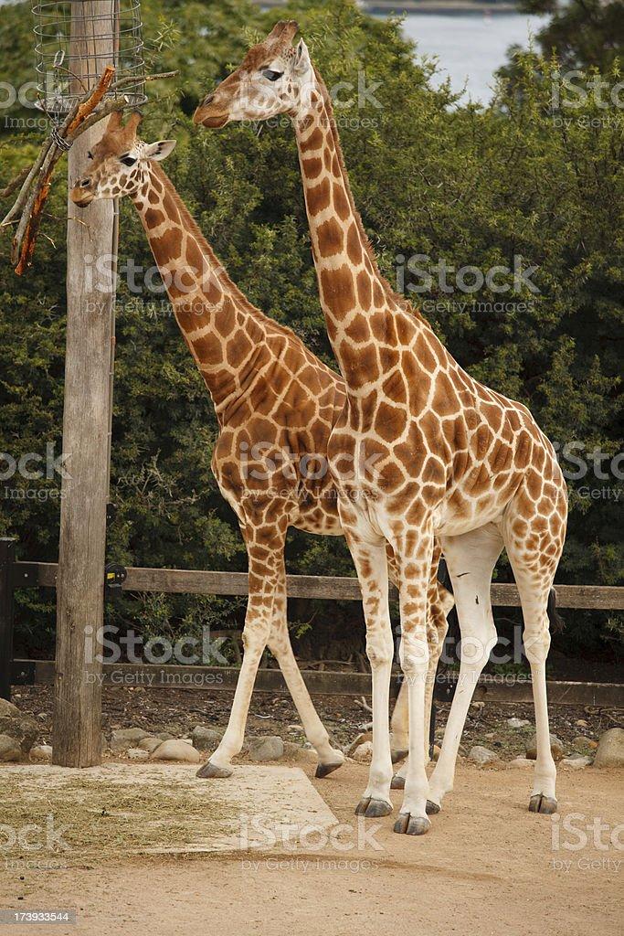 Walking tall royalty-free stock photo