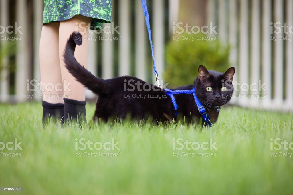 Walking The Cat A black cat on a leash being walked in a yard by his boy. Animal Stock Photo