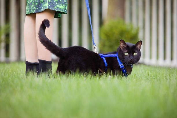 fuß die katze - katzengeschirr stock-fotos und bilder