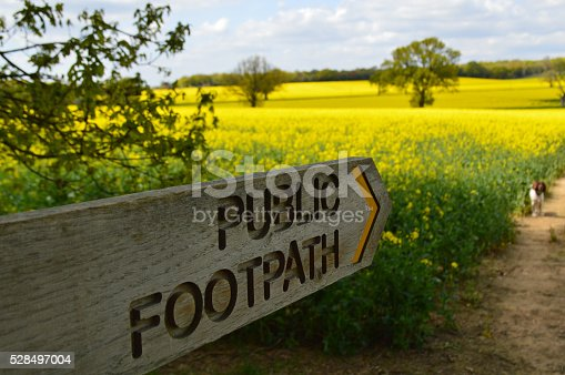 Dog walking in rural West Sussex along a public footpath making its way through a field of rapeseed.