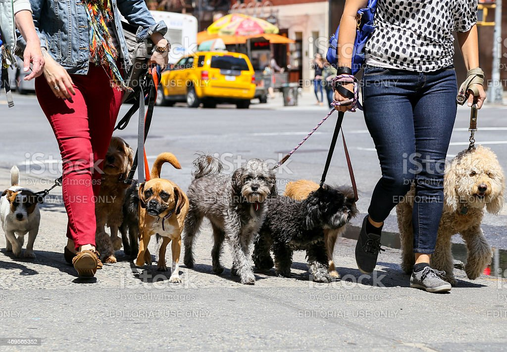 Walking the dogs in NY stock photo
