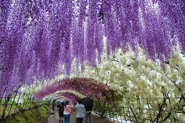 zu den kawachi wisteria garden tunnel - blauregen stock-fotos und bilder
