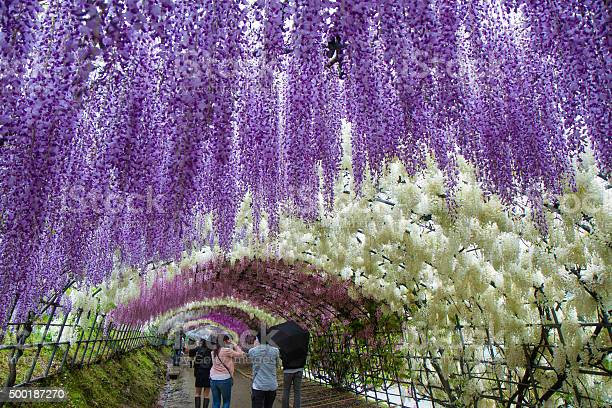Walking The Kawachi Wisteria Garden Tunnels Stock Photo Download Image Now Istock
