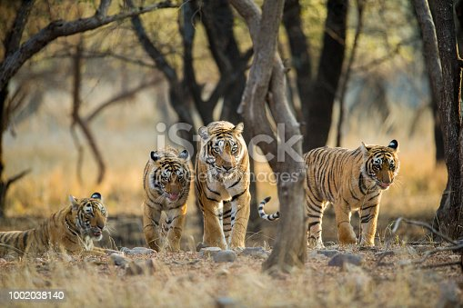 A Tiger Mom accompanied by her three sub adult cubs walks as she shows them her territory. This is just a few months before these sub adults will their own ways and make their own territories. This image is made at Ranthambhore National Park, Rajasthan, India