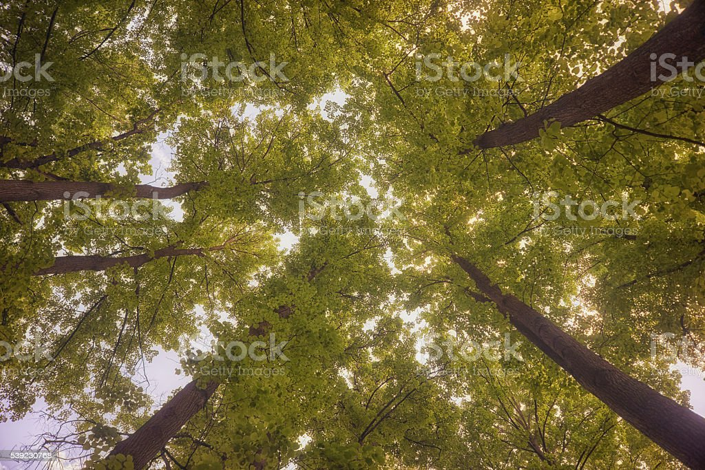 Walking through the woods. Crowns of trees. royalty-free stock photo