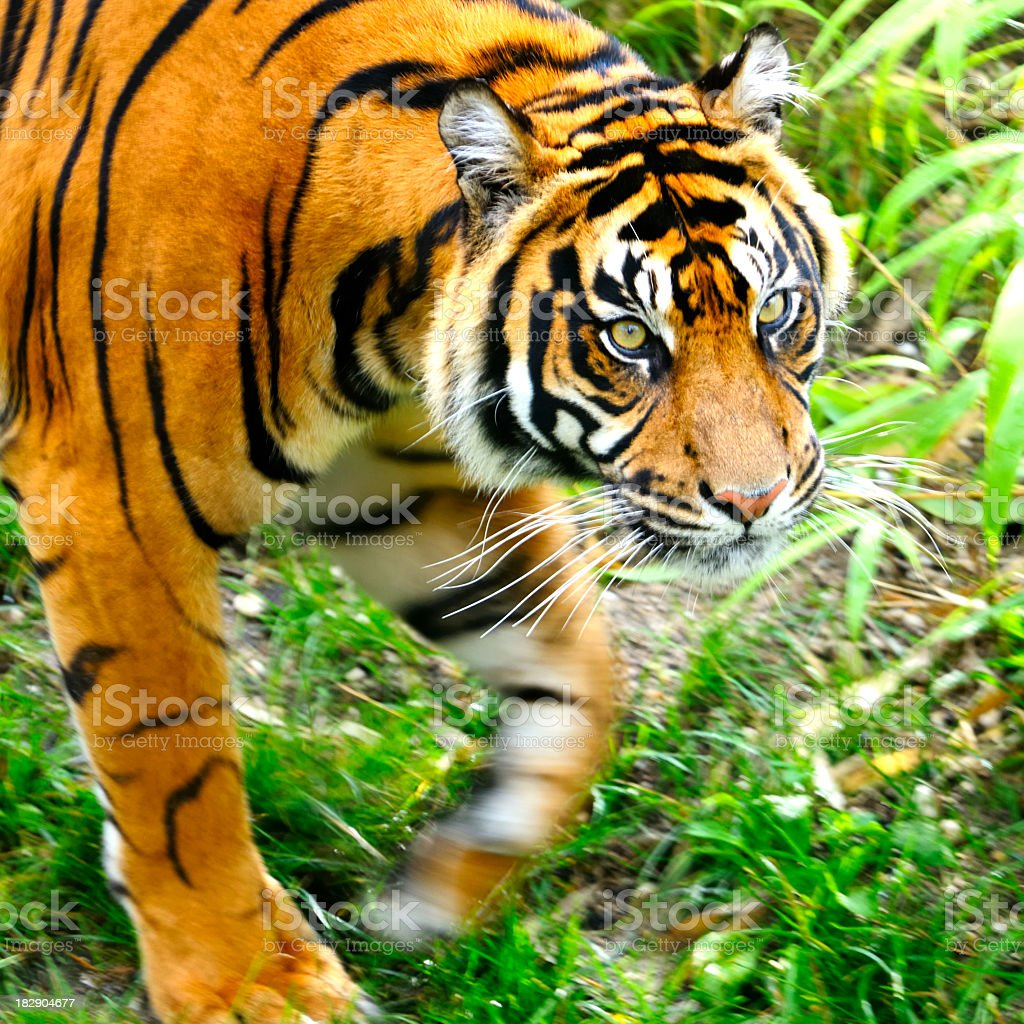 Walking Tiger royalty-free stock photo