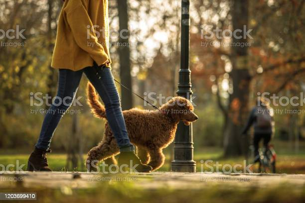 Walking time in the park for red poodle and its owner picture id1203699410?b=1&k=6&m=1203699410&s=612x612&h=gdy kr7cwsoeizpz k1qefrg4h5s2shgrycou3b1tdo=