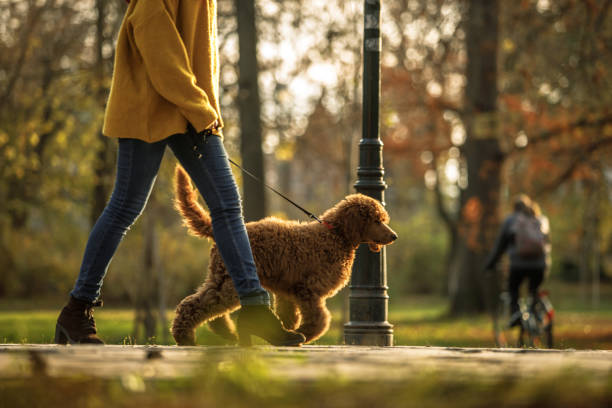 Walking time in the park for red poodle and its owner stock photo
