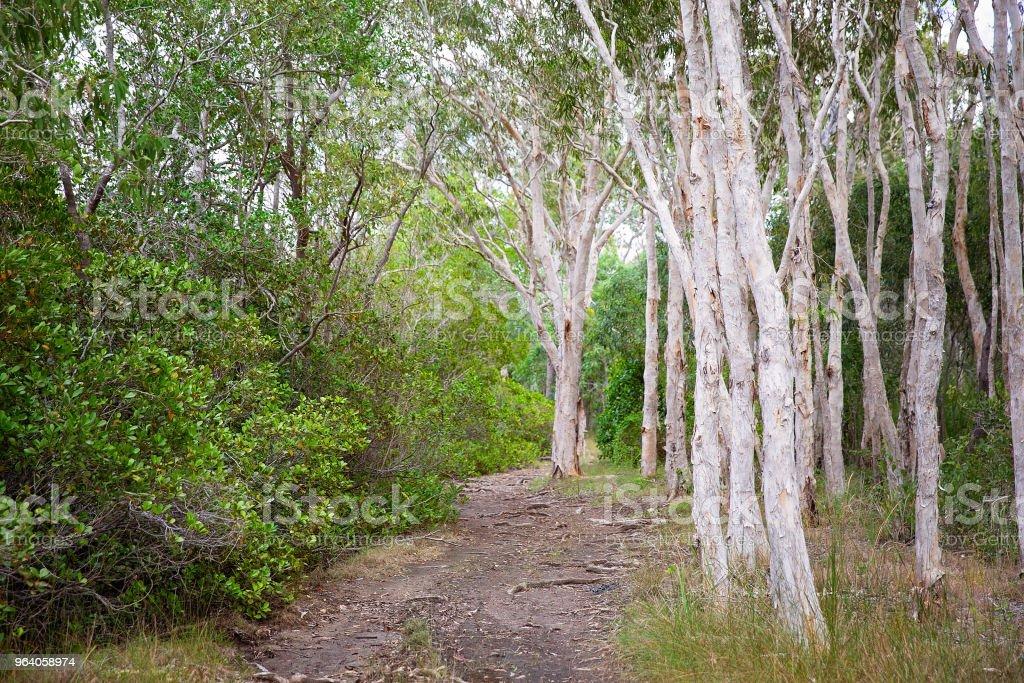 Walking Track Into Thick Woods With Grey Bark Trees In Australia - Royalty-free Agricultural Field Stock Photo