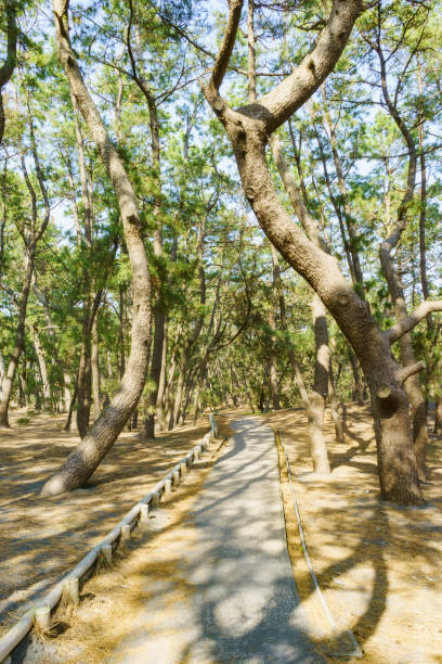 Walking Trail in a Pine Grove stock photo