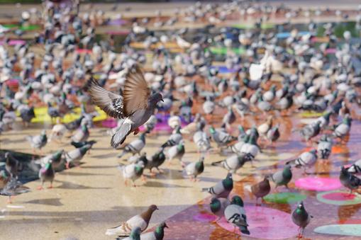 Walking urban pigeons on Barcelona Plaza de Canalanya (Spain)