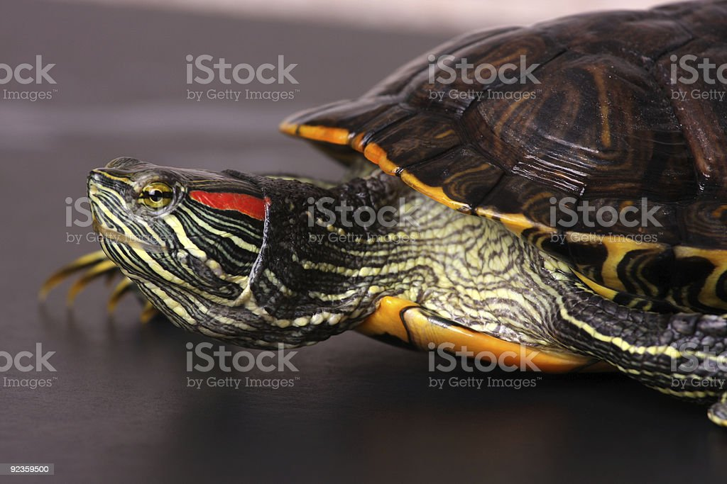 Walking Water Turtle stock photo