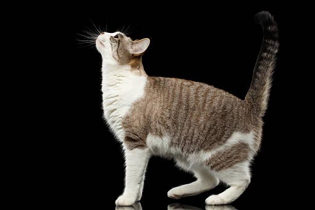 Walking white cat raising up head on isolated black background picture id546179390?b=1&k=6&m=546179390&s=612x612&w=0&h=7rbthvj7b0k2itvmf3go4w3l mywwphbrgyy0eroiz4=