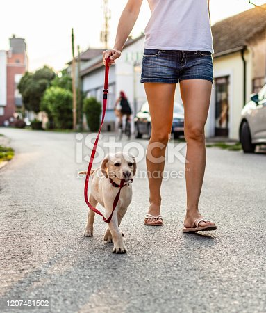 Close up of woman walking with puppy Labrador retriever.
