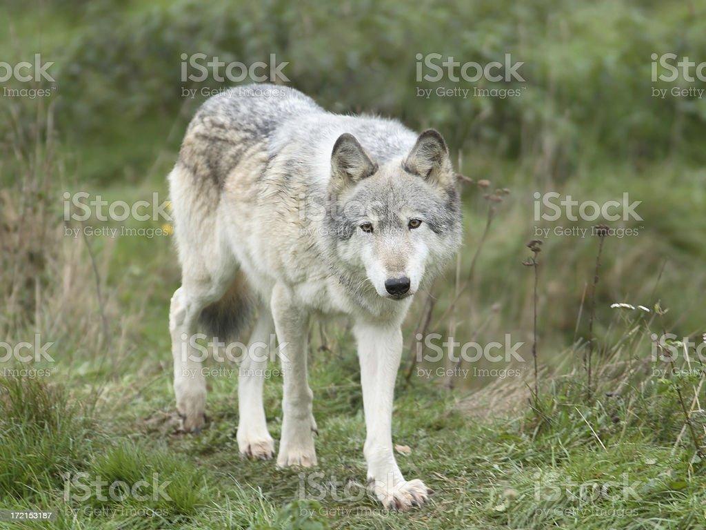 Walking Wolf stock photo