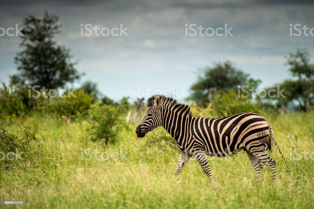 Walking Zebra royalty-free stock photo