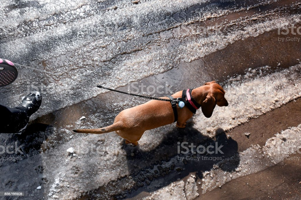 Walks with a dog stock photo