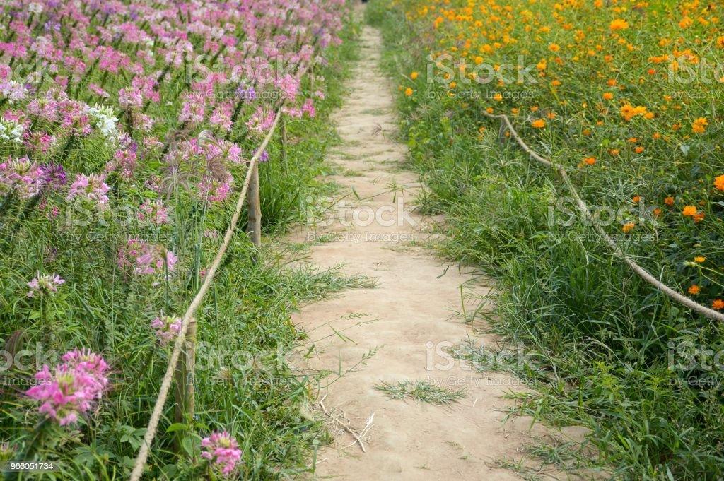 Gehweg zwischen Cosmos Sulphureus und Cleome Spinosa Blume im Garten der Natur - Lizenzfrei Baumblüte Stock-Foto