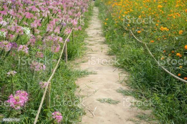 Gehweg Zwischen Cosmos Sulphureus Und Cleome Spinosa Blume Im Garten Der Natur Stockfoto und mehr Bilder von Baumblüte