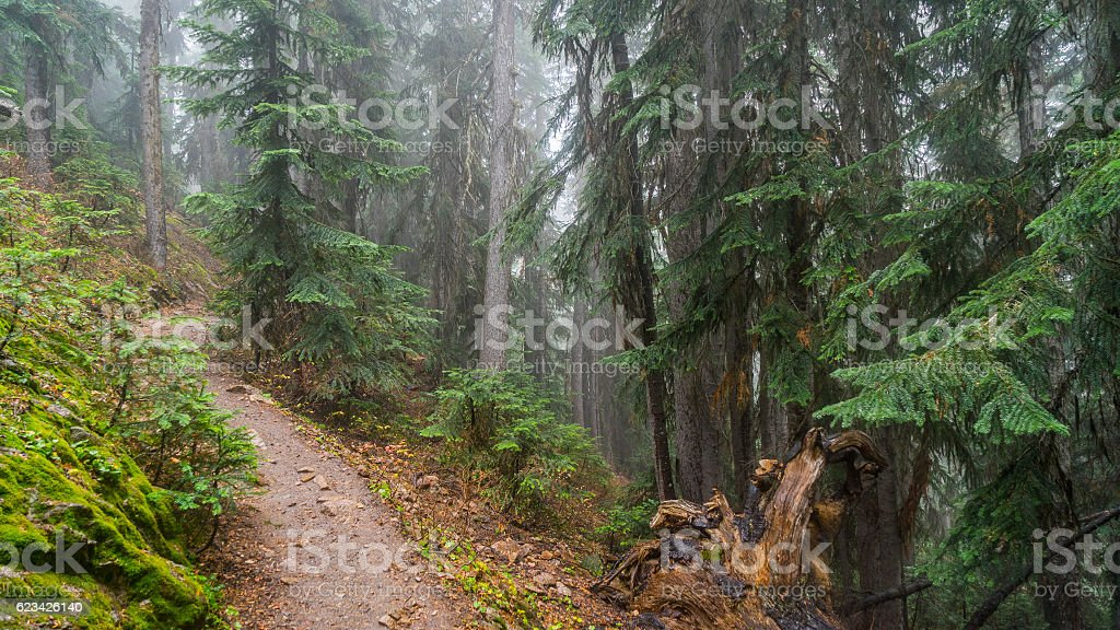 Walkway between the age-old spruces stock photo