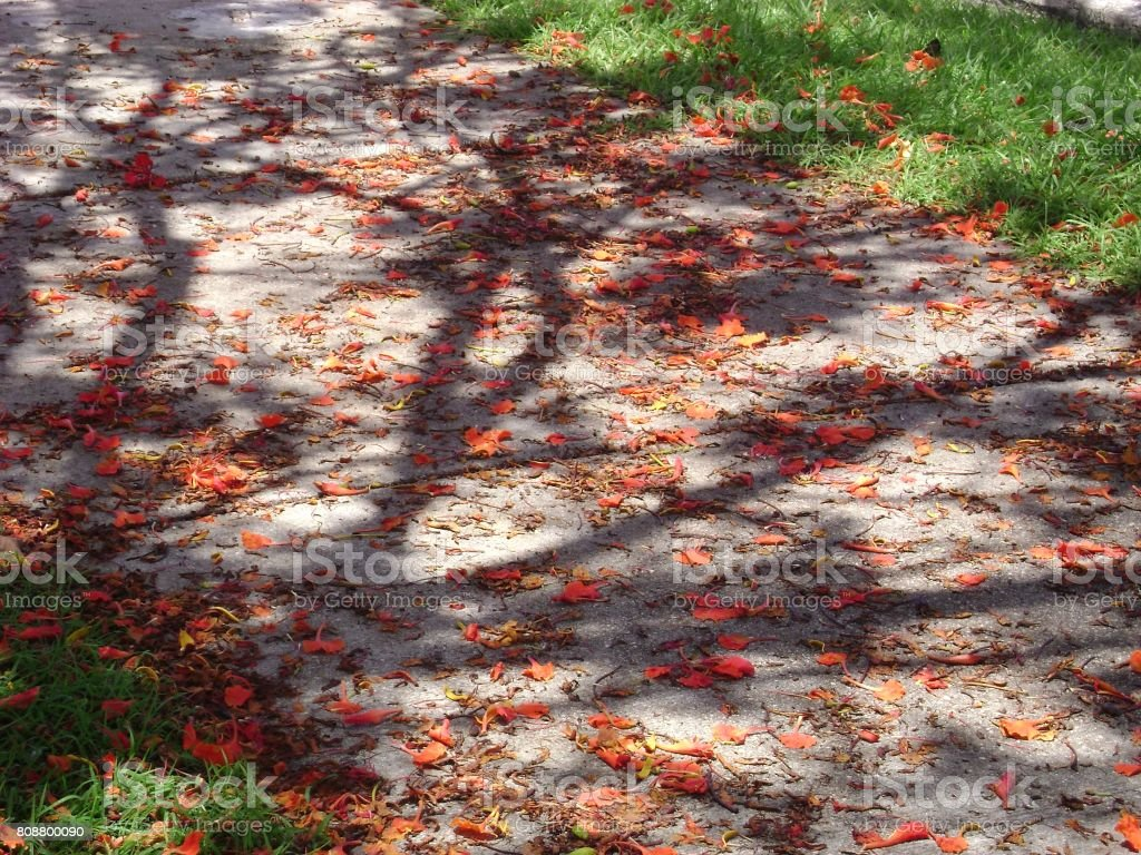 Walkway showered with fallen flame tree flowers stock photo