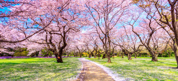 walkway under the sakura tree beautiful in japan - blossom stock pictures, royalty-free photos & images