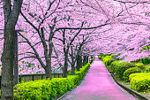 Walkway under the sakura tree which is the romantic atmosphere scene in Tokyo Japan