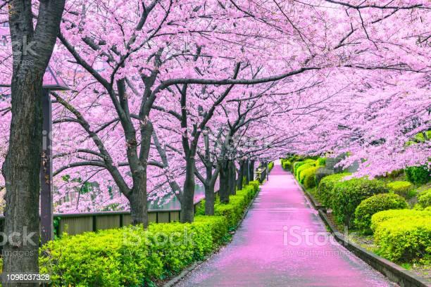 Walkway under the sakura tree which is the romantic atmosphere scene picture id1096037328?b=1&k=6&m=1096037328&s=612x612&h= npvkyuxuytivjltvxaacppbsh6klwyuiap8interyg=