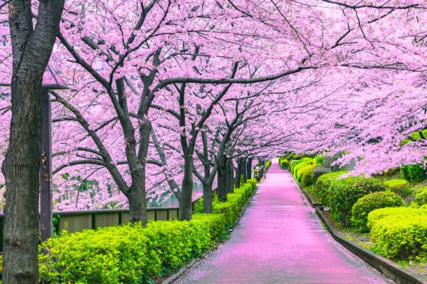 loopbrug onder de sakura boom die de scène van de romantische sfeer in tokio - bloesem stockfoto's en -beelden