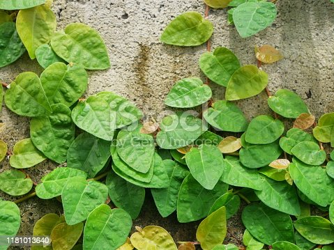 Netherlands, Ivy, Wall - Building Feature, Brick, Brick Wall