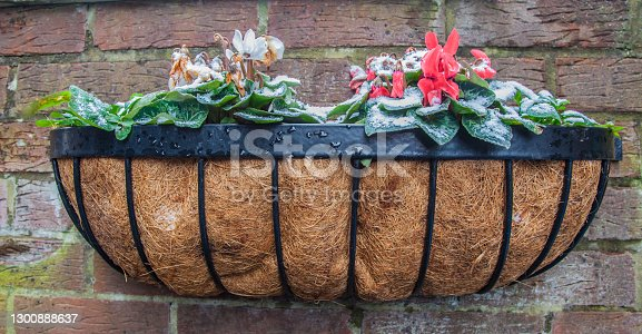 istock wall basket with cyclamen in light snow 1300888637