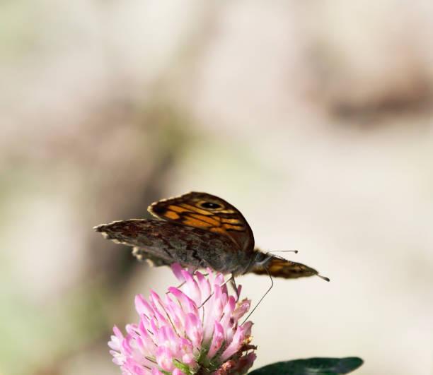 Muur bruine vlinder (Lasiommata megera) voeding foto