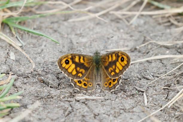 Muur bruine vlinder (Lasiommata megera) rusten foto