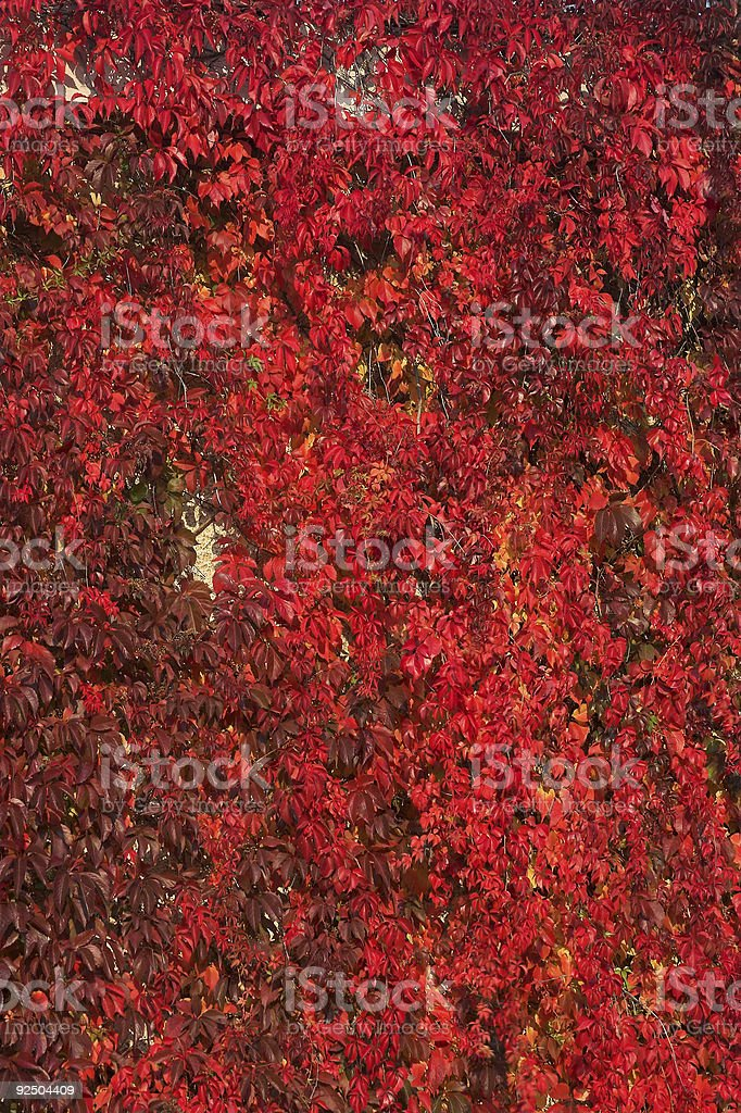 Wall covered in vines royalty-free stock photo