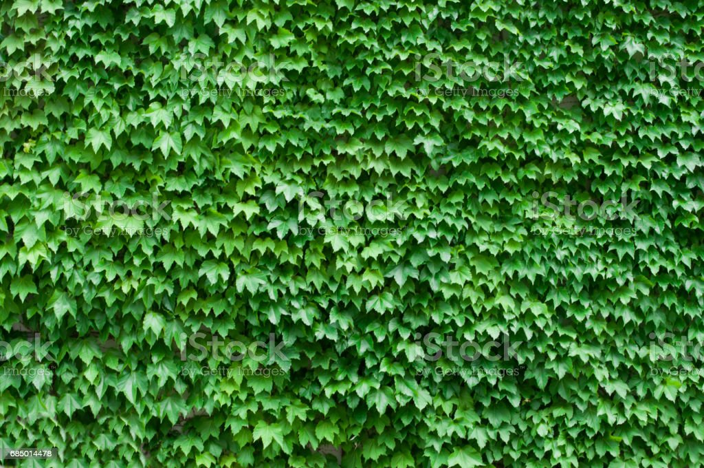 Wall covered with a huge number of wild vine leaves stock photo