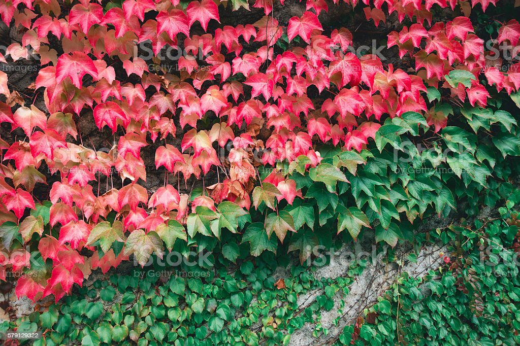 Wall Covered With Autumn Leaves stock photo