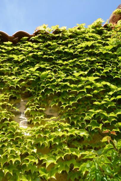 Pared cubierta de hierdra (Hedera helix) - foto de stock
