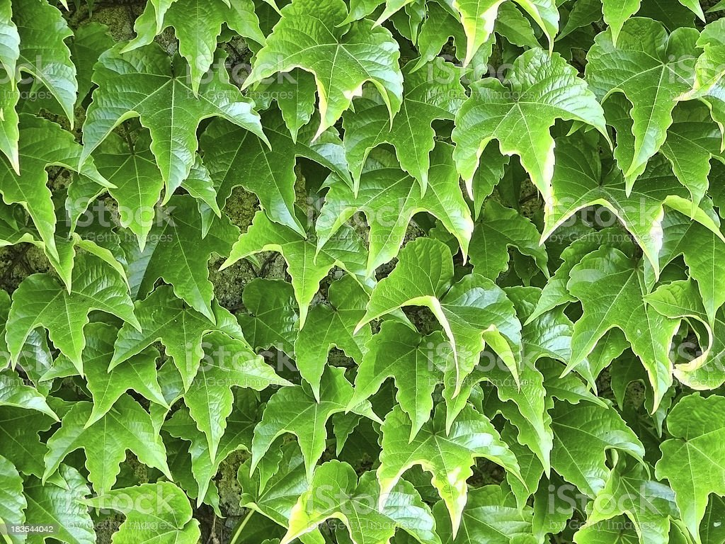 Wall Covered with Bright Green Boston Ivy Closeup stock photo