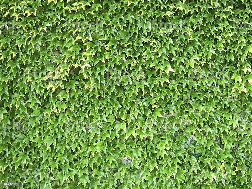 Wall Covered with Bright Green Boston Ivy royalty-free stock photo