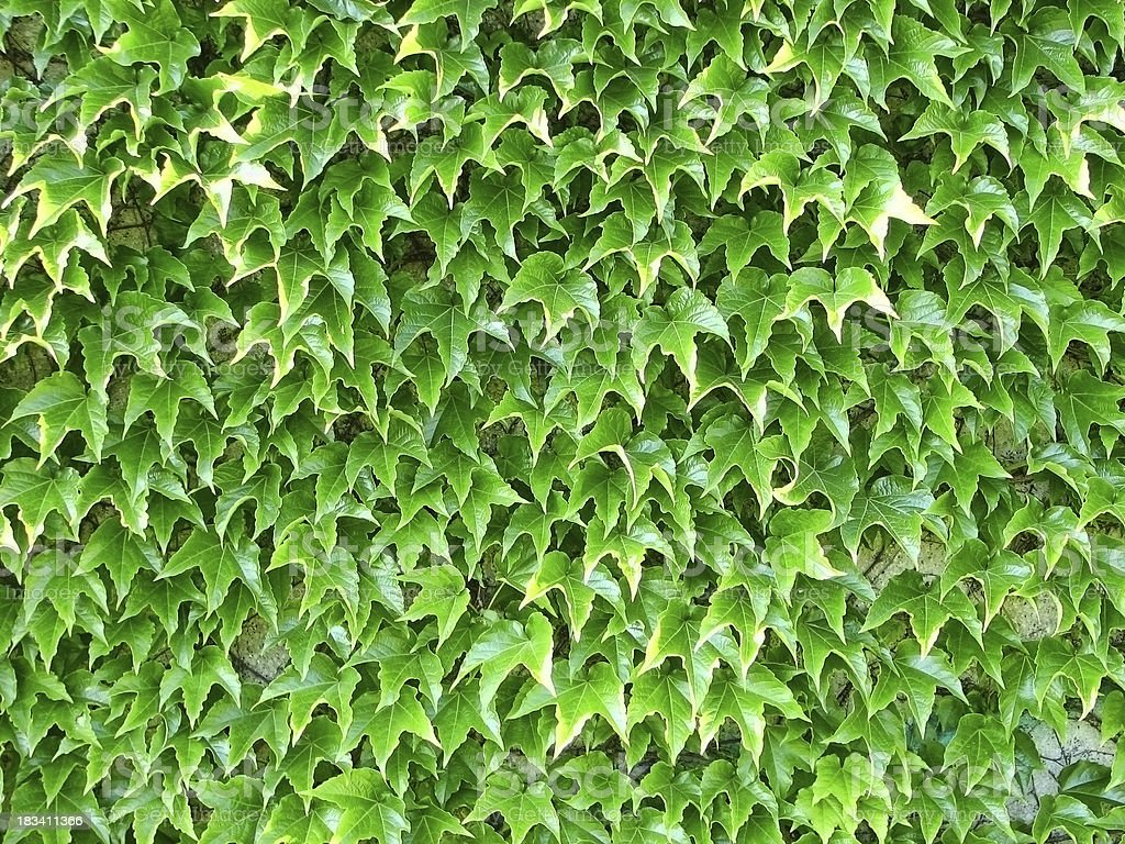 Wall Covered with Bright Green Boston Ivy stock photo