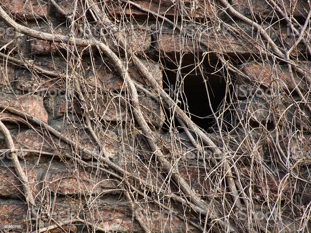 Wall covered with dry vine royalty-free stock photo