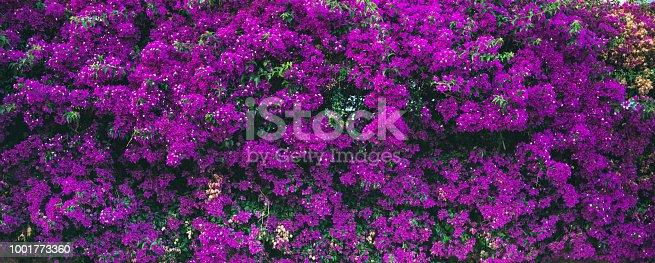 Purple blooming Bougainvillea tree flowers. Typical Mediterranian outdoor street exterior in summer