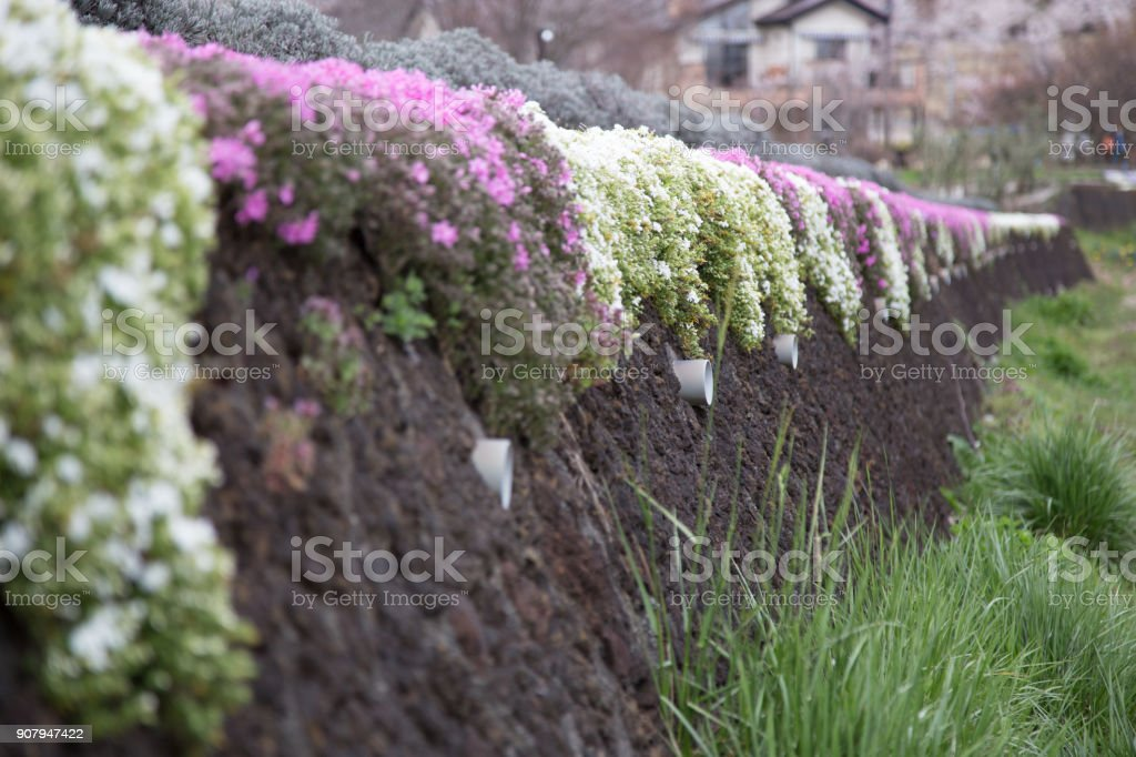wall flower background at Kawaguchiko, Japan stock photo