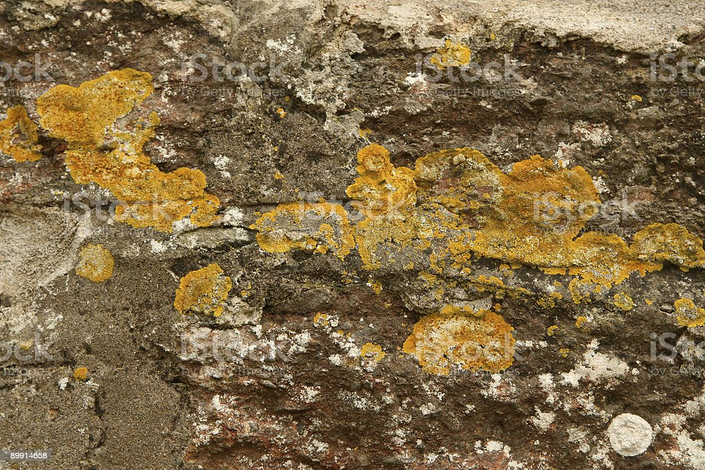 Wall lichen royalty-free stock photo