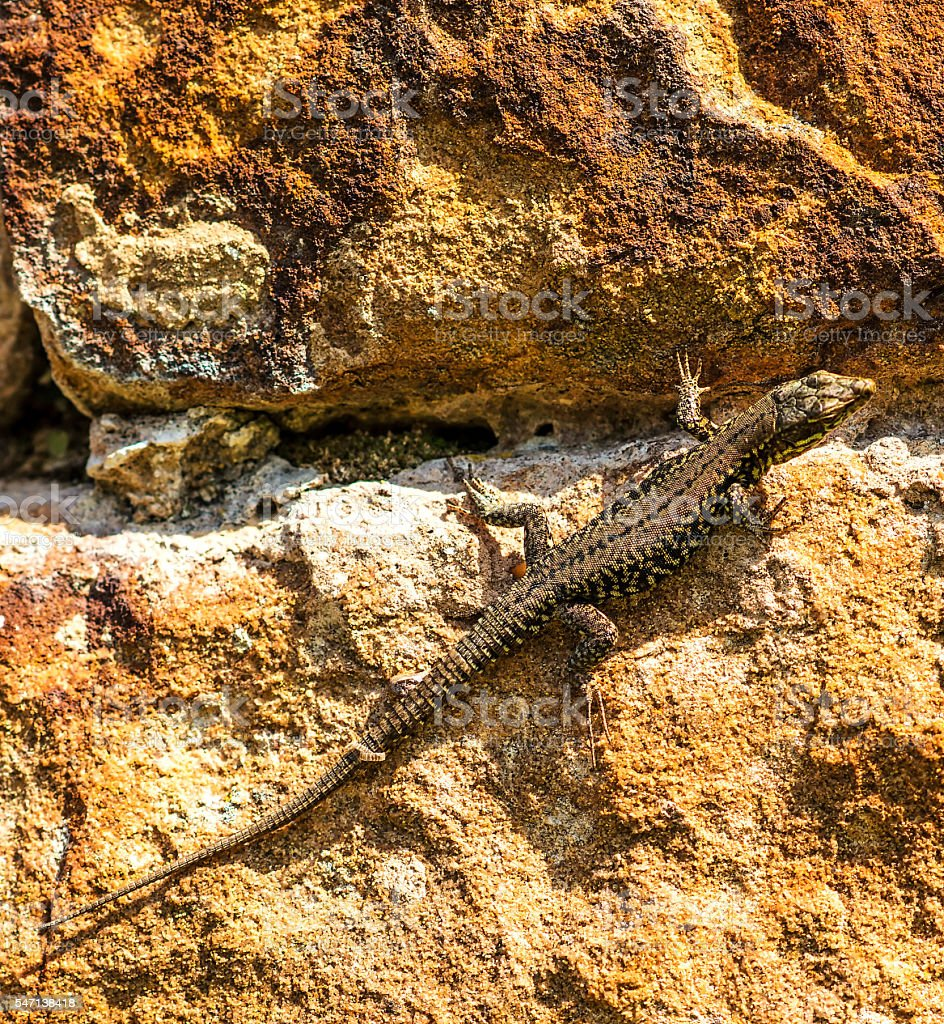 wall lizard at an old abbey wall in France stock photo