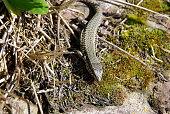 Wall lizard enjoys the sun