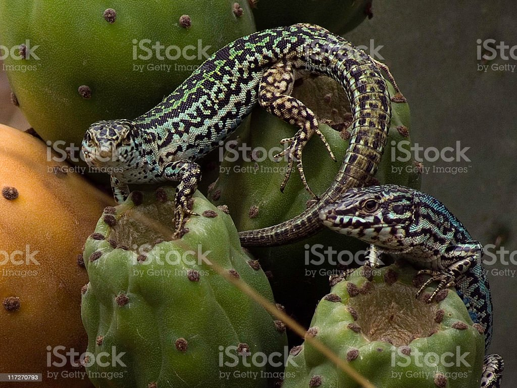 Wall Lizard in cactus royalty-free stock photo