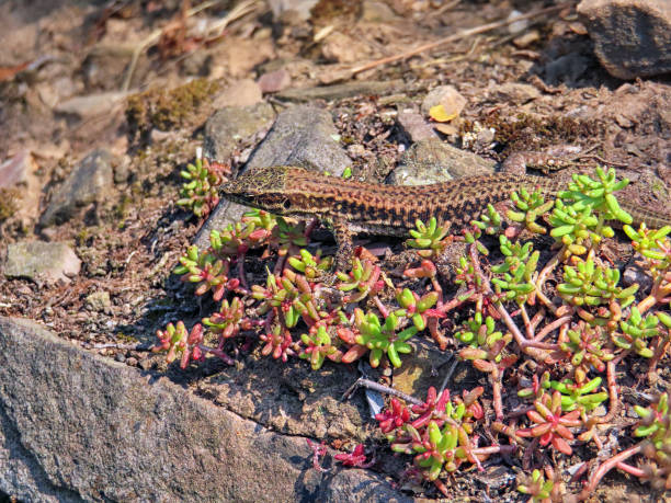 Wall Lizard (Lizard) in Moselle valley in Germany. Wall Lizard (Lizard) in Moselle valley in Germany. bobtail squid stock pictures, royalty-free photos & images