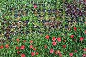 Wall of bromeliad  (Aechmea fasciata)